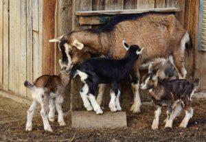 goat farming in India