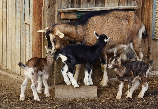 Goat Farming - My Blog