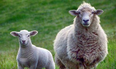 raising farm animals for profit
